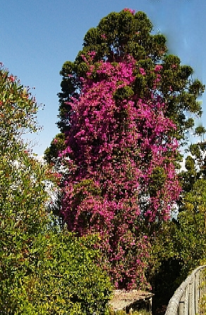 100 foot tall bougainvillea