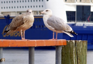 Oslo - 47 gulls