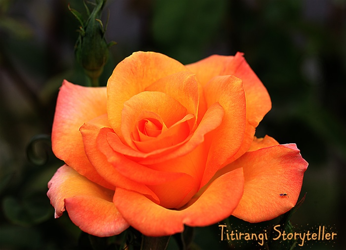 Akaroa -Orange rose