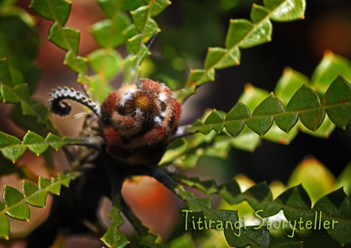 Dunedin -flower bud
