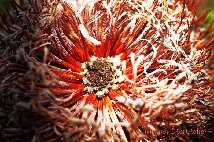 Dunedin -flower