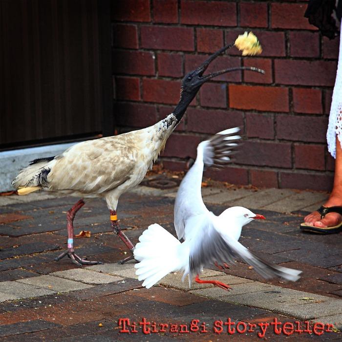 ibis vs seagull