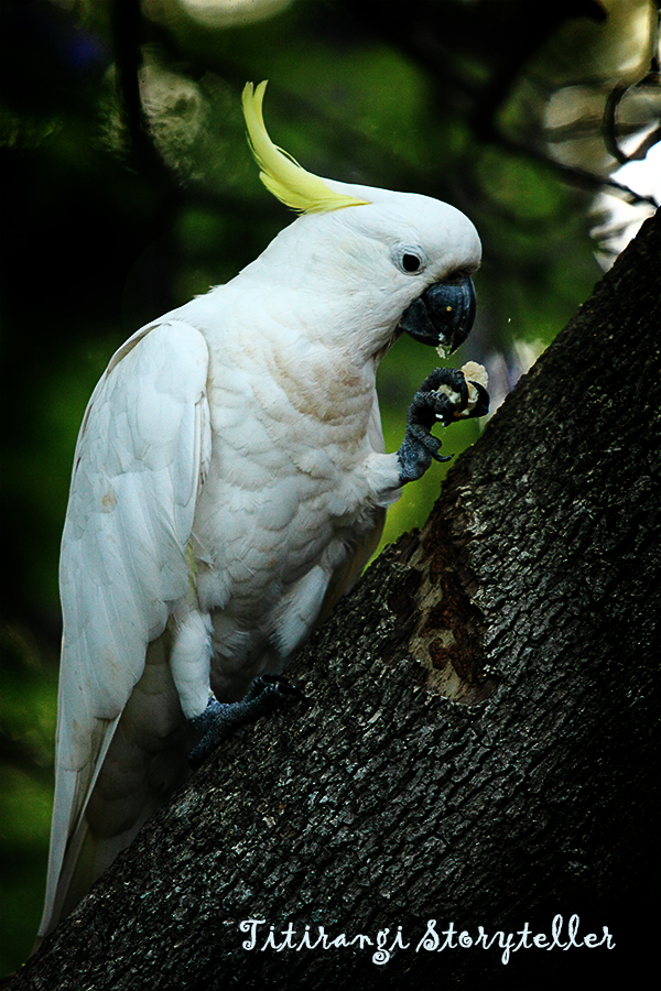 Sydney -cockatoo1