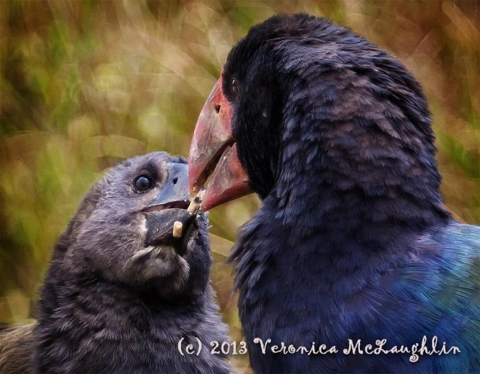 Takahe love