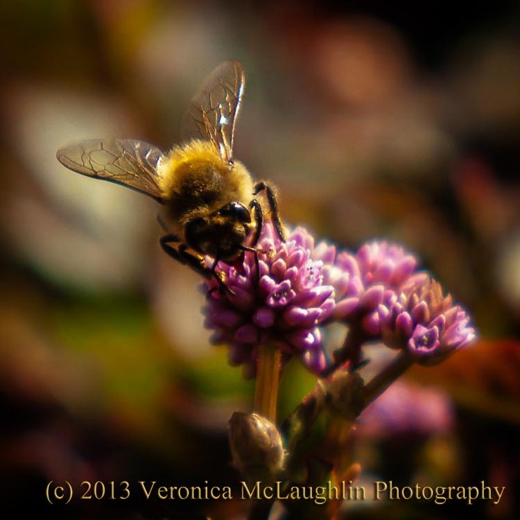 Cornwall Bee