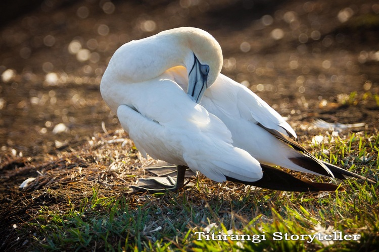 Gannet at rest