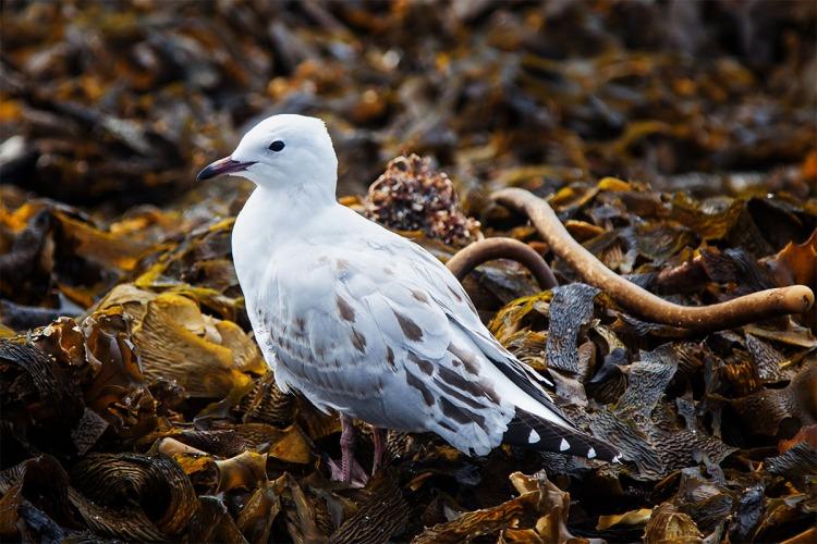 Seagull in Seaweed copy