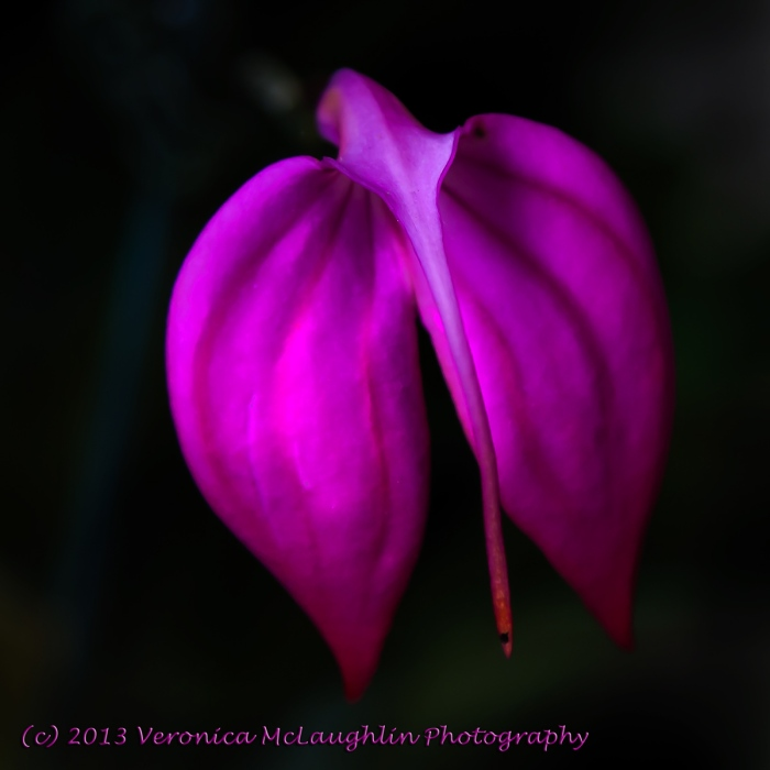 Orchid-18