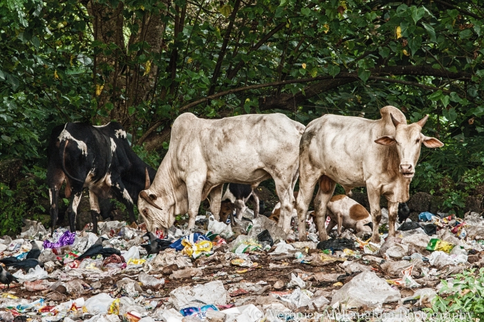 Goa Bulls